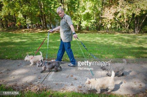 Man walking 4 dogs : Stock Photo
