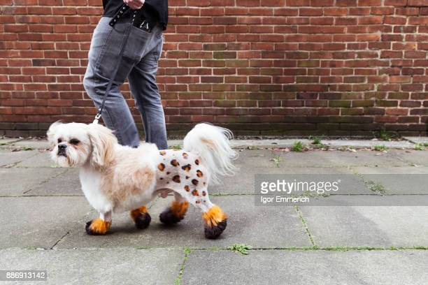 Man walking groomed dog with dyed shaved fur