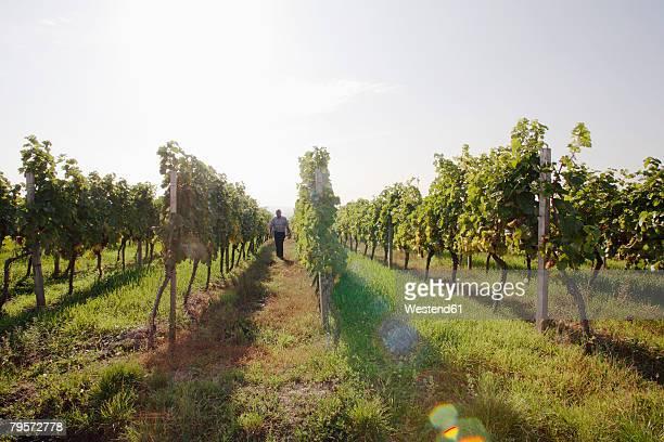 Man walking in vineyard