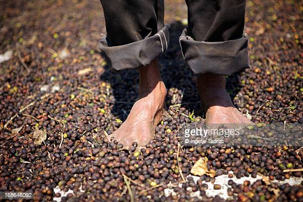 Man walking through coffeebeans to dry in sun