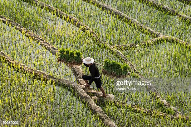 man walking through rice fields carrying seedlings