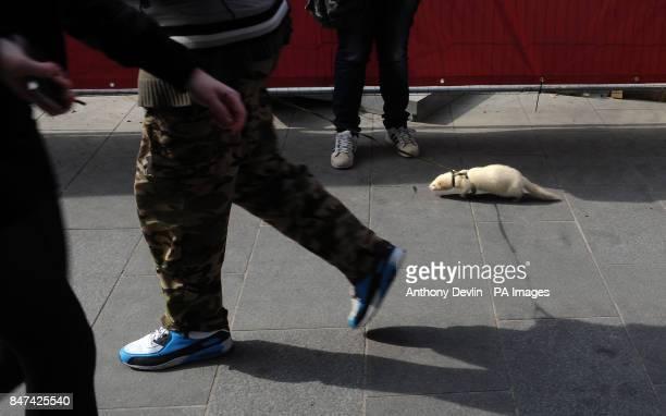 A man walks a ferret on a lead through central London