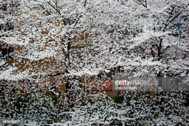 A man walks along the river boardwalk under cherry blossom trees in full bloom at Meguro River on April 1 2014 in Tokyo Japan The Japanese...
