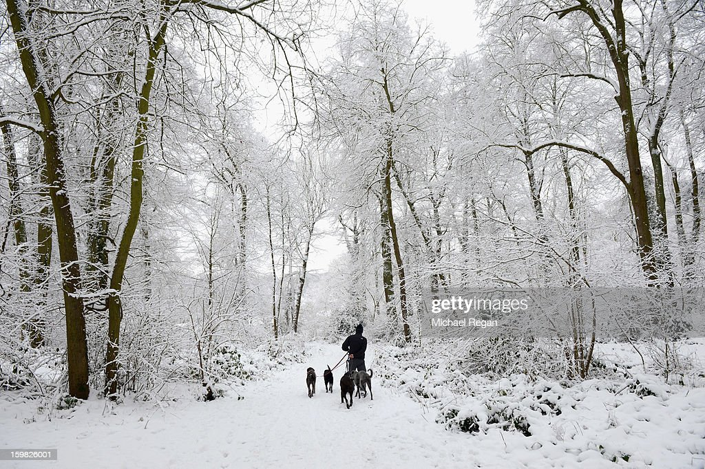 A man walks dogs through the snow at Swithland Woods on January 21, 2013 in Leicestershire, United Kingdom. As the UK's cold snap continues, parts of the country including the South West and Wales were bracing themselves for even more snow, forecast to arrive tonight and tomorrow.