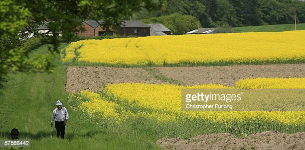 A man walks his dog next to a field of Rapeseed in the sunshine on 11 May Tabley Cheshire England Rapeseed has become one of the most popular crops...