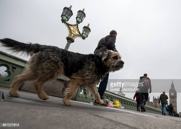 A man walks his dog past floral tributes on Westminster Bridge leading to the Houses of Parliament in central London on March 24 2017 two days after...