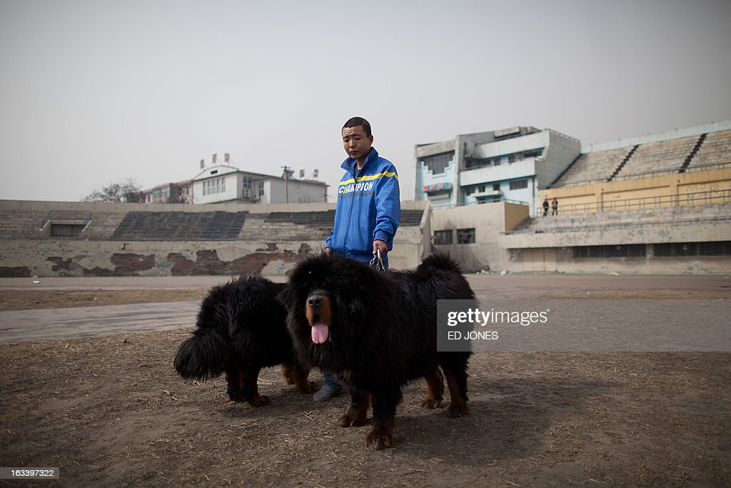 A man walks his Tibetan mastiff dogs at a mastiff show in Baoding, Hebei province, south of Beijing on March 9, 2013. Fetching prices around 750,000 USD, mastiffs have become a prized status-symbol amongst China's wealthy, with rich buyers across the country sending prices skyrocketing. Owners say the mastiffs, descendents of dogs used for hunting by nomadic tribes in central Asia and Tibet are fiercely loyal and protective. Breeders still travel to the Himalayan plateau to collect young puppies, although many are unable to adjust to the low altitudes and die during the journey. AFP PHOTO / Ed Jones