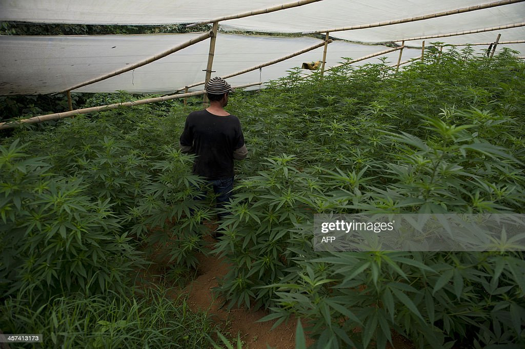 A man walks in a greenhouse to grew marijuana in a rural area of Corinto, department of Cauca, Colombia, on December 9, 2013. The Colombian government and the FARC address the issue of 'illicit cultivation' as the third point of the peace talks that they are presently having in Havana. AFP PHOTO/Luis ROBAYO