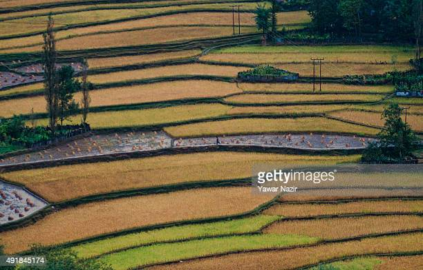 A man walks in paddy fields that are ready to harvest on October 8 2015 in Tangdar 165 km north of Srinagar the summer capital of Indian administered...