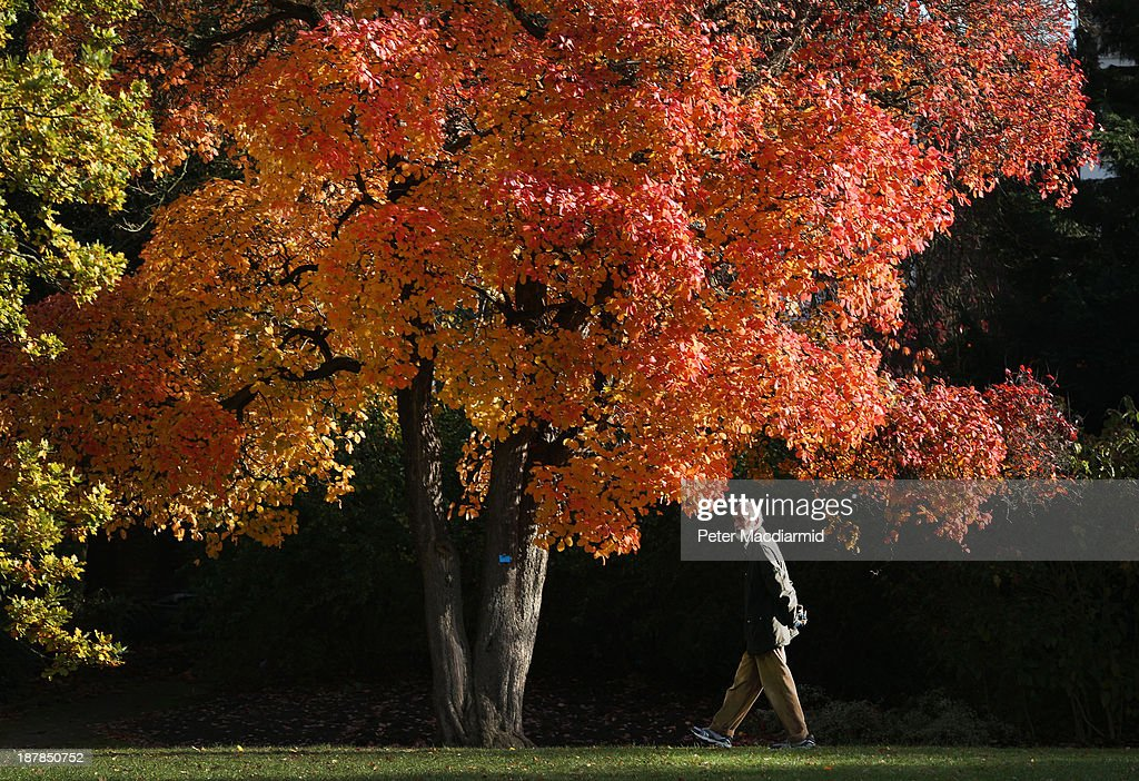 A man walks in the Royal Botanic Gardens, Kew on November 13, 2013 in London, England. Autumn's colours are showing later in the season this year due to a record cold spring.
