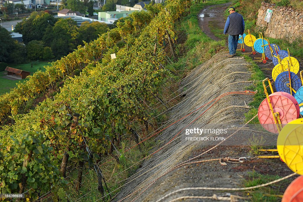 A man walks in the vineyard during the grape harvest of the Grand Cru Rangen, on October 17, 2012 in Thann, eastern France. The rows of the vineyard overhangs the city with a gradient of 45 to 100.