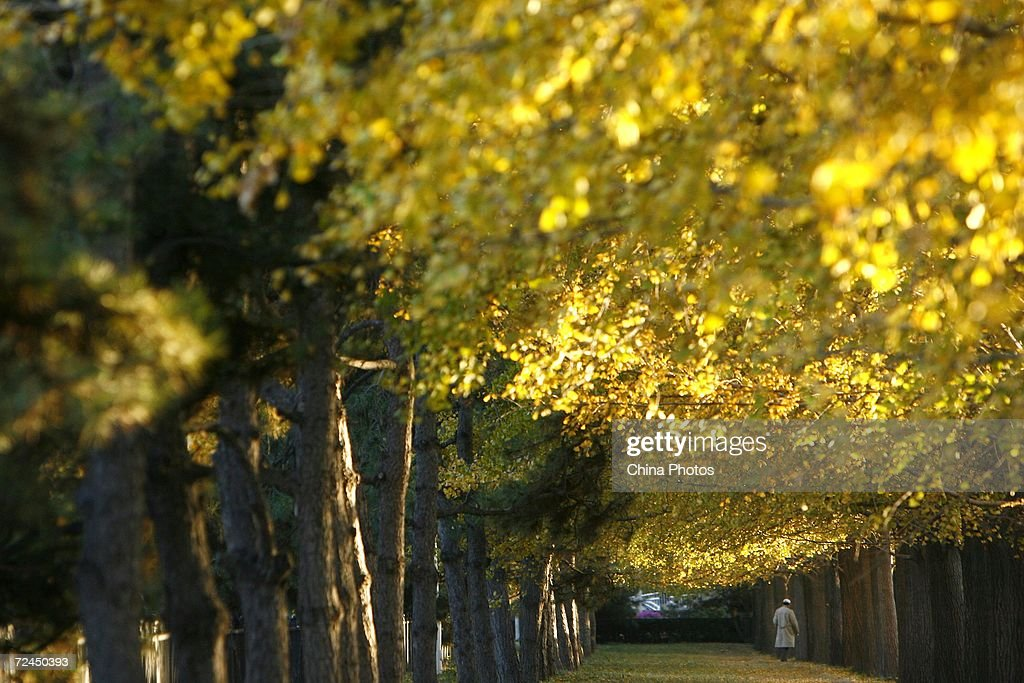 A man walks on fallen leaves under gingko trees on November 8 2006 in Beijing as autumn arrives in the Chinese capital
