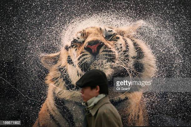 A man walks past a photograph by Tim Flach at the London Art Fair held in the Business Design Centre on January 16 2013 in London England The London...