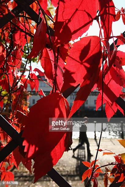 A man walks past a trellis covered in autumn vines near the Spree river on October 13 2009 in Berlin Germany Autumn weather has reached Germany and...