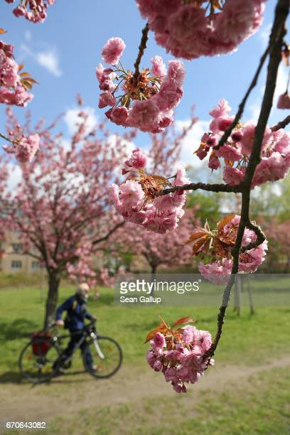 A man walks past blossoming cherry trees on April 20 2017 in Berlin Germany Farmers are concerned that a recent cold snap that brought snow flurries...