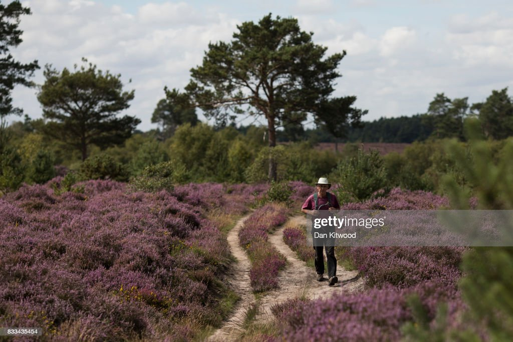 A man walks through Heather as it blooms on Thursley National Nature Reserve on August 16, 2017 in Thursley, England. The 325 hectre site, managed by Natural England, is a site of special scientific interest consistsing of open dry heathland, peat bogs, ponds, pine, deciduous woodland and an abundance of wildlife.