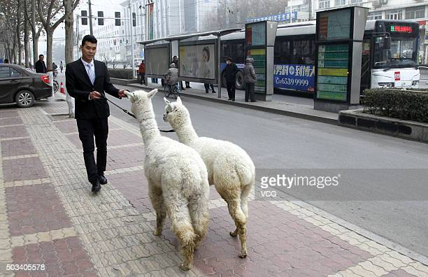A man walks two alpacas on pavement on January 4 2016 in Zhengzhou Henan Province of China A food store manager borrowed two alpacas from friends to...