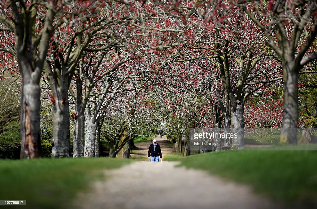 A man walks under the branches of trees in blossom in Royal Victoria Park on April 30, 2013 in Bath, England. After one of the coldest winters on record and a later than normal start to spring, many parts of the UK are finally enjoying warmer temperatures and sunnier spells.