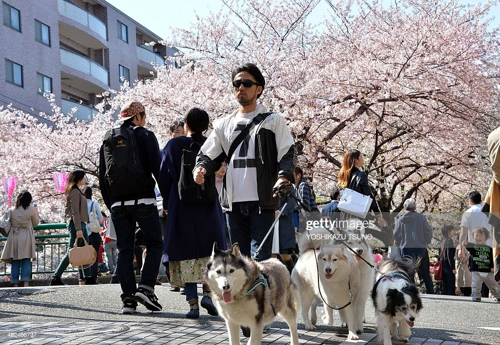 A man (C) walks with his dogs under fully bloomed cherry blossom trees along a riverside promenade in Tokyo on April 4, 2014. Viewing cherry blossoms is a national pastime and cultural event in Japan, where millions of people turn out to admire them annually. AFP PHOTO / Yoshikazu TSUNO
