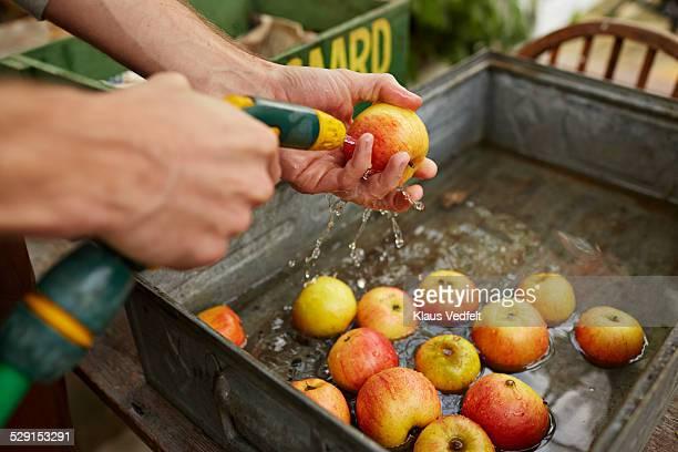 Man washing apples in greenhouse