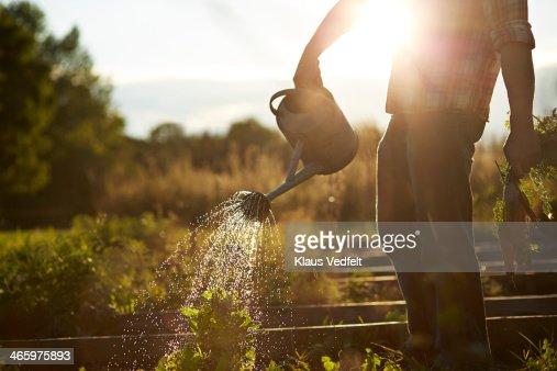 Man watering plant in vegetable garden