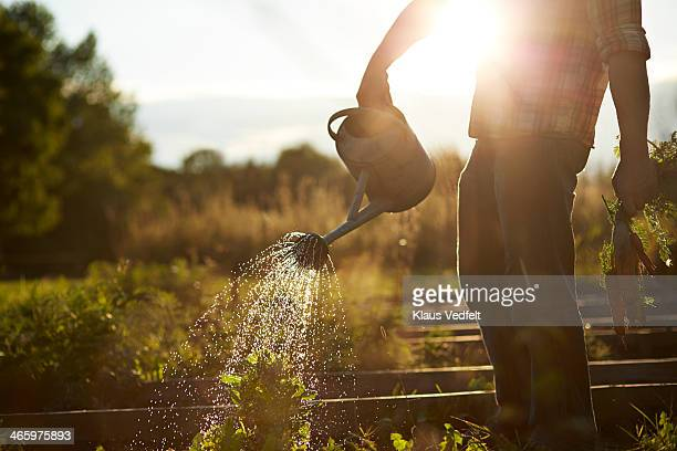 Man watering plant in vegetable garden