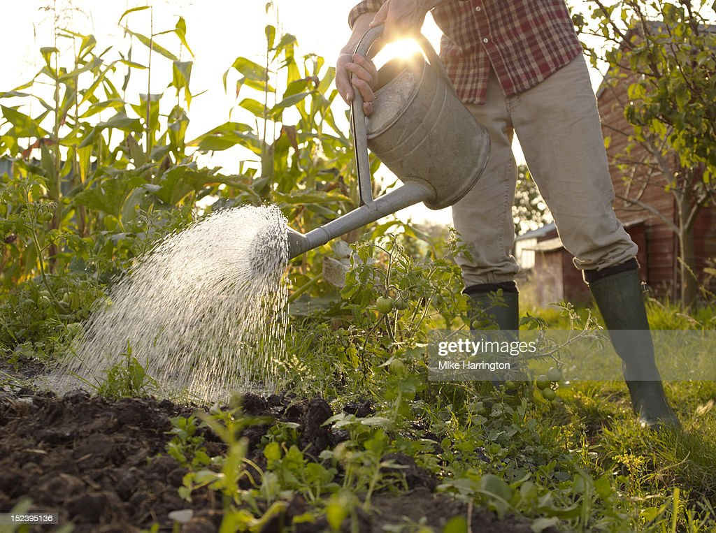 Man watering plants in allotment : Stock Photo