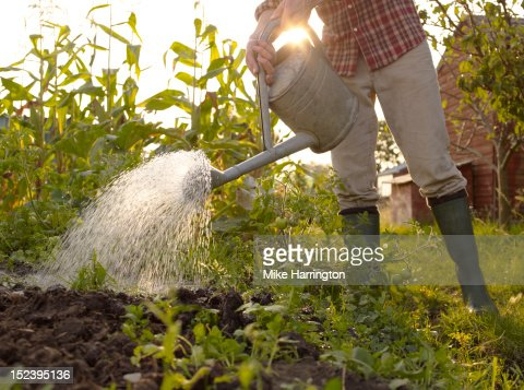 Man Watering Plants In Allotment Stock Photo Getty Images