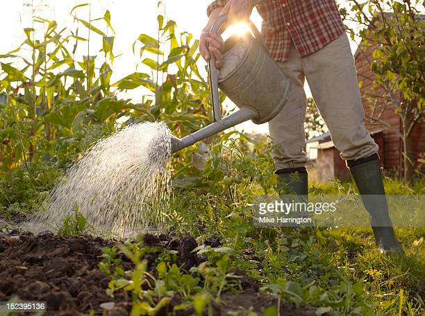 Man watering plants in allotment