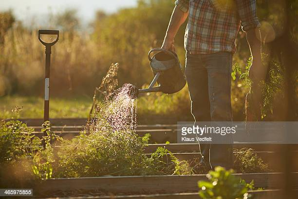 Man watering plants in vegetable garden at sunset