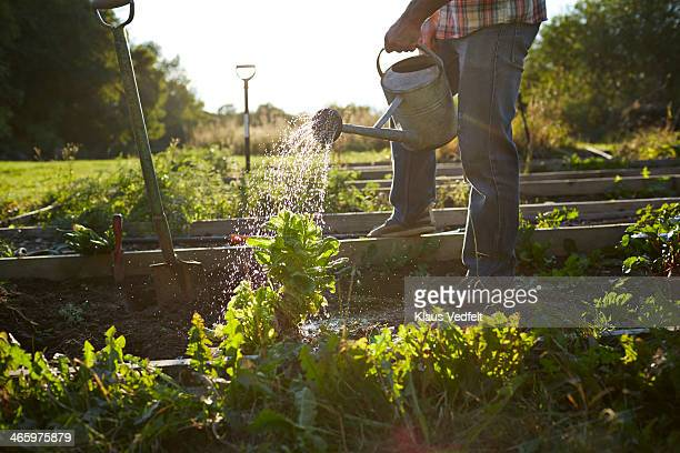 Man watering spinach plant in sunset