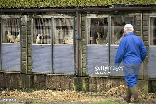 A man wearing a face mask walks through a duck breeding farm where a case of bird flu has been identified in Nafferton in Yorkshire north east...