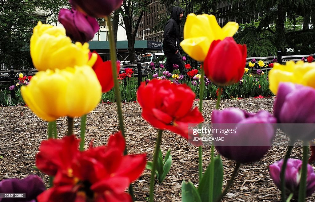 A man wearing a windbreaker walks past a garden at a public park in New York on May 5, 2016. / AFP / Jewel SAMAD