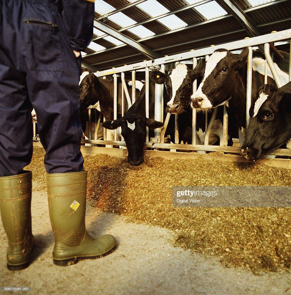 Man wearing overalls in barn on dairy farm, low section, rear view : Stock Photo