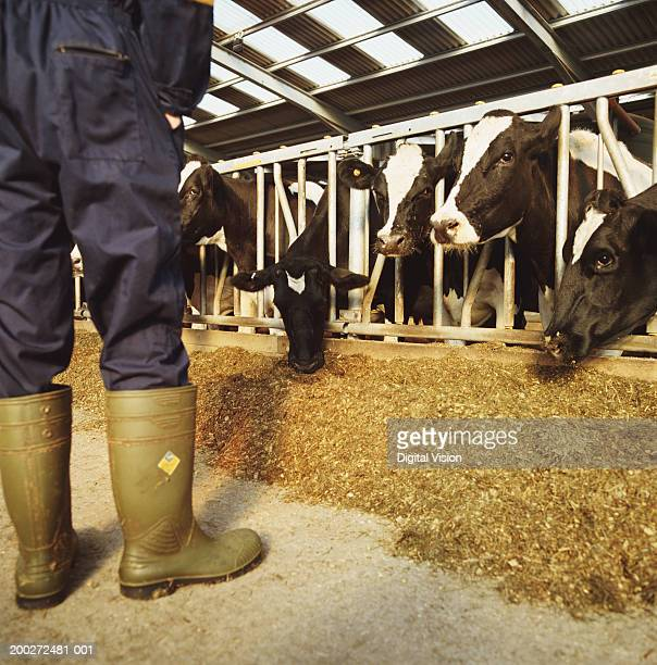 Man wearing overalls in barn on dairy farm, low section, rear view