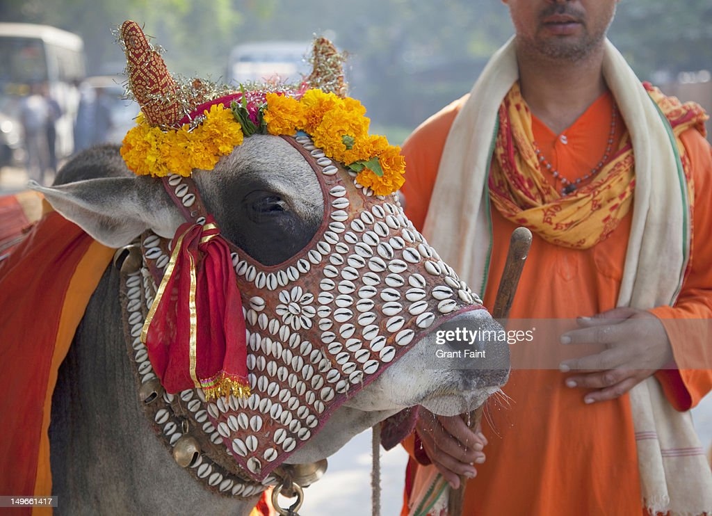 Man with a decorated holy cow : Stock Photo