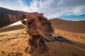 A man with a tattoo is caressing a cute camel in the Sahara desert in Morocco