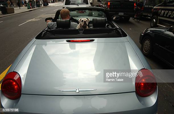 A man with dog sit in a convertible sports car in traffic outside the Madison Square Garden where many streets are being closed to traffic as...