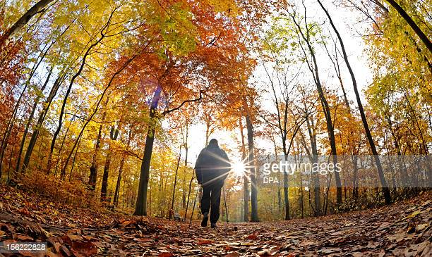 A man with Nordic walking poles walks in a forest on November 12 2012 in Hanover eastern Germany The environmental organization Greenpeace is...