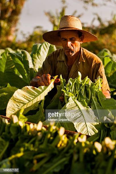 Man with straw hat farming tobacco