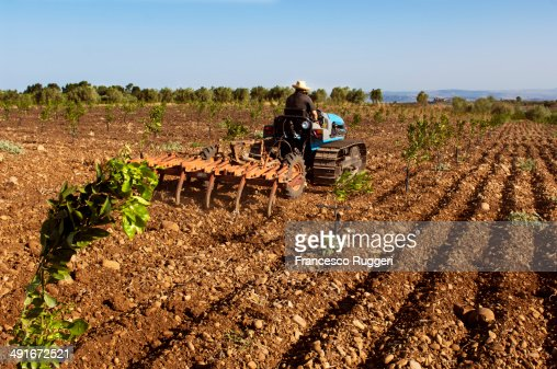 Man with tractor plowing a young orange grove