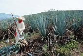 A man work in tequila industry. Jimador