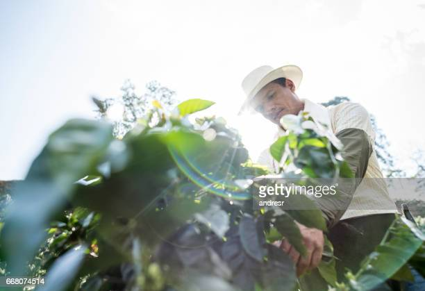 Man working at a coffee farm collecting coffee beans