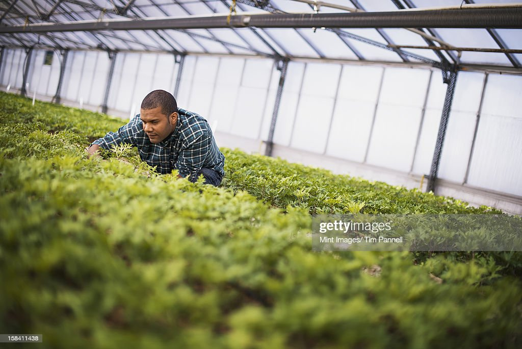 A man working in a large greenhouse, or glasshouse full of organic plants.  : Stock Photo