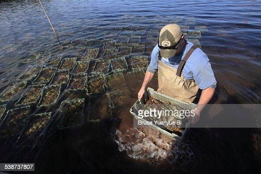 Man working in a oyster farm