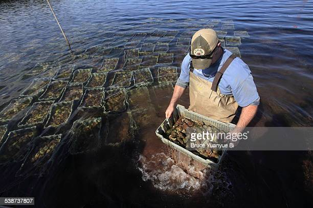 Man working in a oyster farm