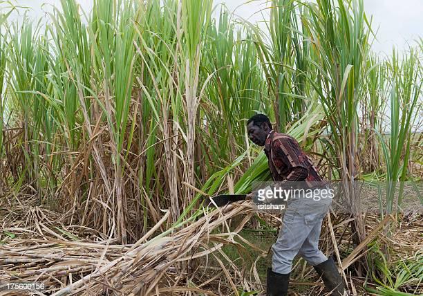 Homme travaillant dans un champ de canne à sucre