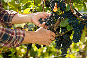 Vintner picking grapes with shear at harvest time in the sunshine
