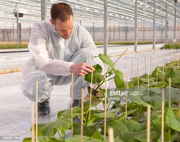 Man working in glasshouse, horticulture