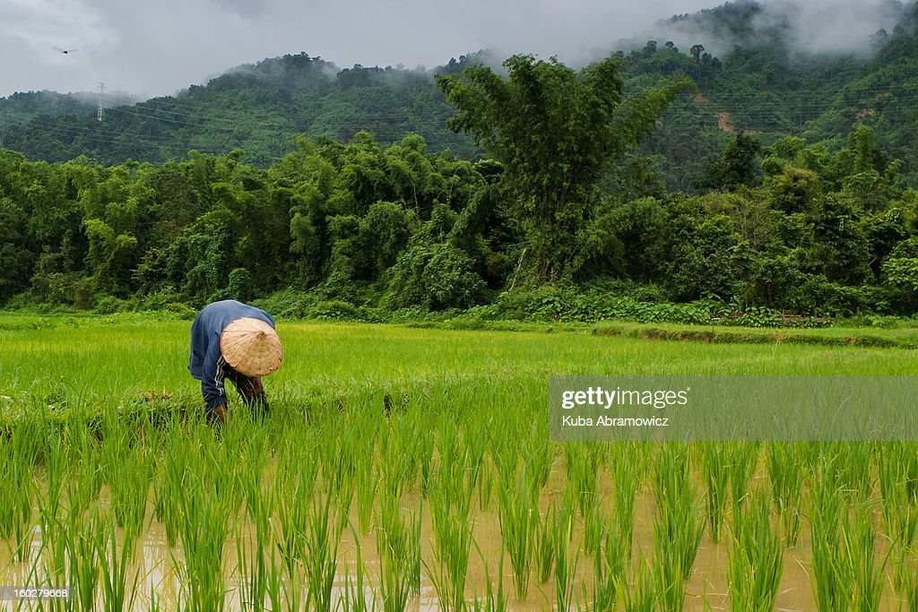 Man working in rice fields near Vang Vieng : Stock Photo